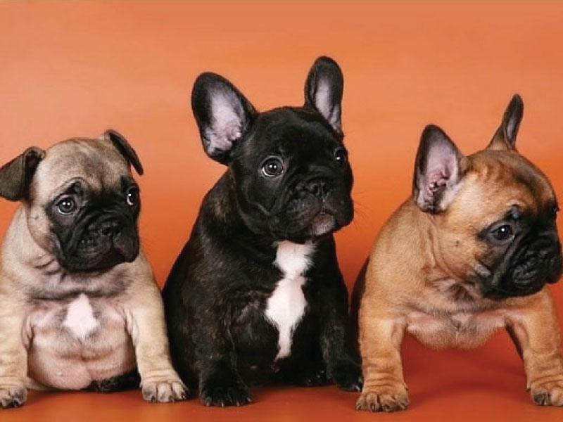 Bulldog Franceses